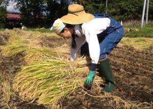 aomori-rice