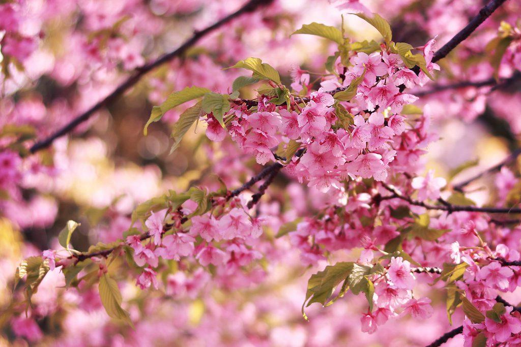 【着物組・青森支部】4/29第2回弘前公園で着物でお花見しよう
